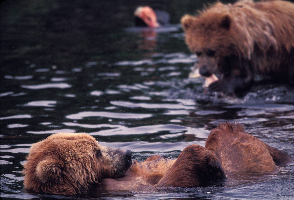 Photo: Grizzly bear fishing for sockeye salmon near Kodiak, Alaska.