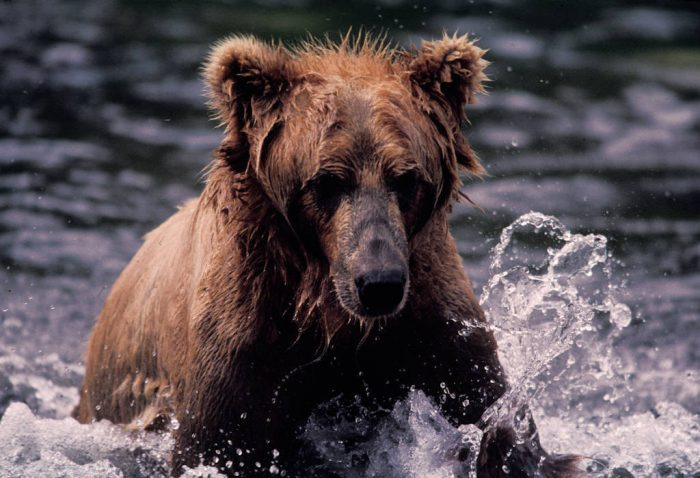 Photo: Grizzly bear fishing for sockeye salmon near Kodiak, Alaska.