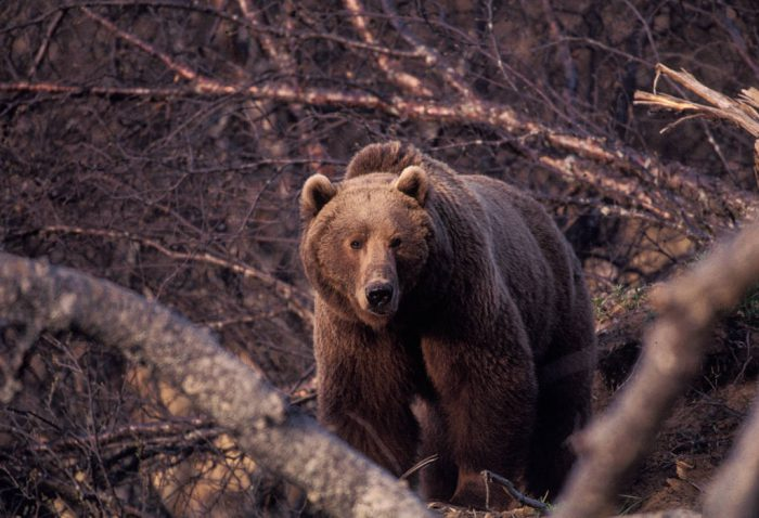 Photo: Grizzly bear on Kodiak Island, Alaska.
