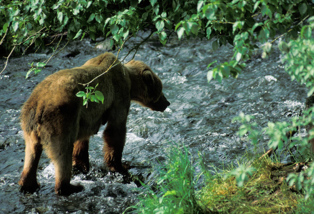 Photo: A grizzly bear on Kodiak Island, Alaska.