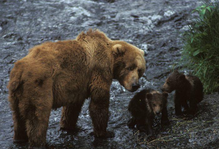 Photo: A mother grizzly bear and her cubs on Kodiak Island, Alaska.