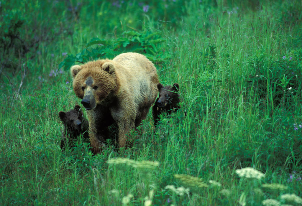 Photo: A mother grizzly bear and her cubs on Kodiak Island, Alaska.