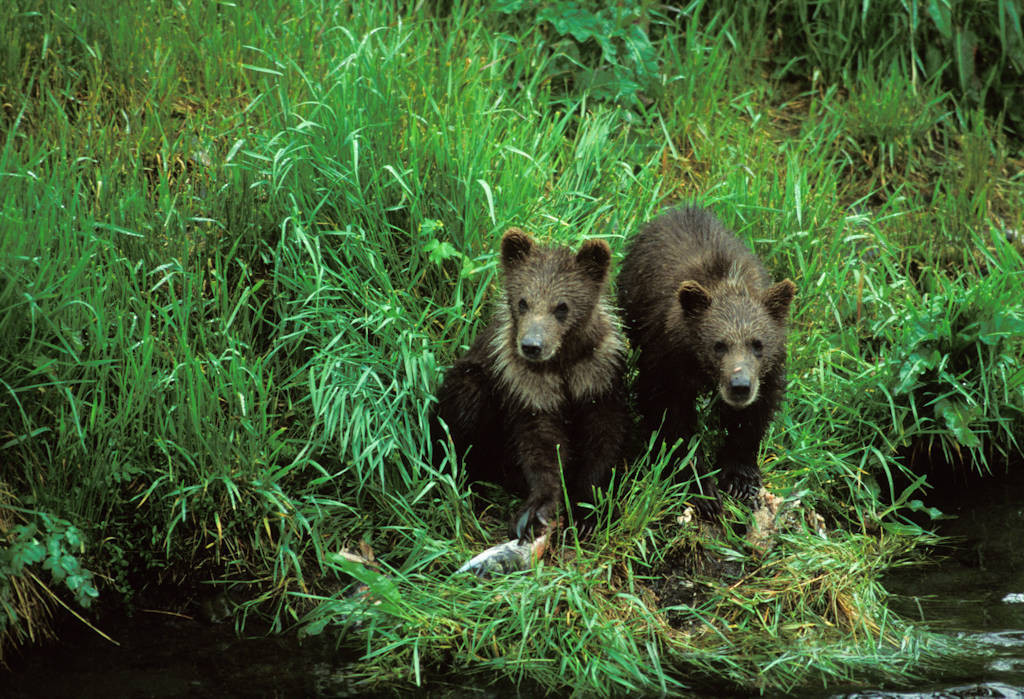 Photo: Two grizzly bear cubs on Kodiak Island, Alaska.