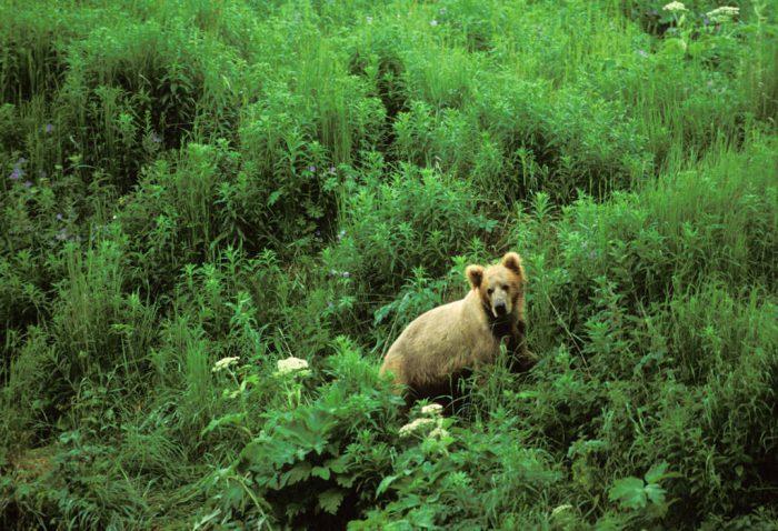 Photo: A young grizzly bear cub on Kodiak Island, Alaska.