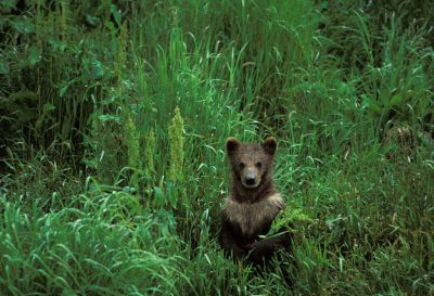 Photo: A young grizzly bear cub on Kodiak Island, Alaska.