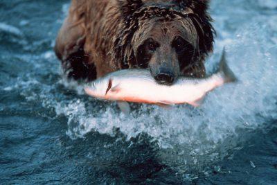 Photo: Grizzly bear eating salmon at Brooks Falls in Katmai National Park, Alaska.