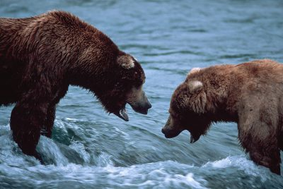 Photo: Two grizzly bears facing off over fishing territory at Brooks Falls in Katmai National Park Alaska.
