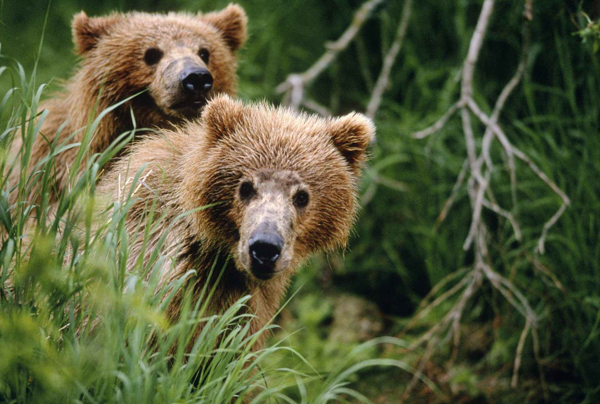 Photo: Two grizzly bears mating at Brooks Falls in Katmai NationalPark, Alaska.