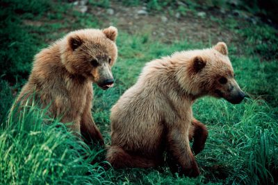 Photo: A mated pair of grizzlies at Brooks Falls in Katmai National Park, Alaska.