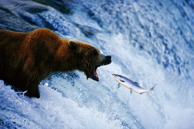 Photo: A pair of grizzlies fish for salmon at Brooks Falls in Katmai National Park, Alaska.