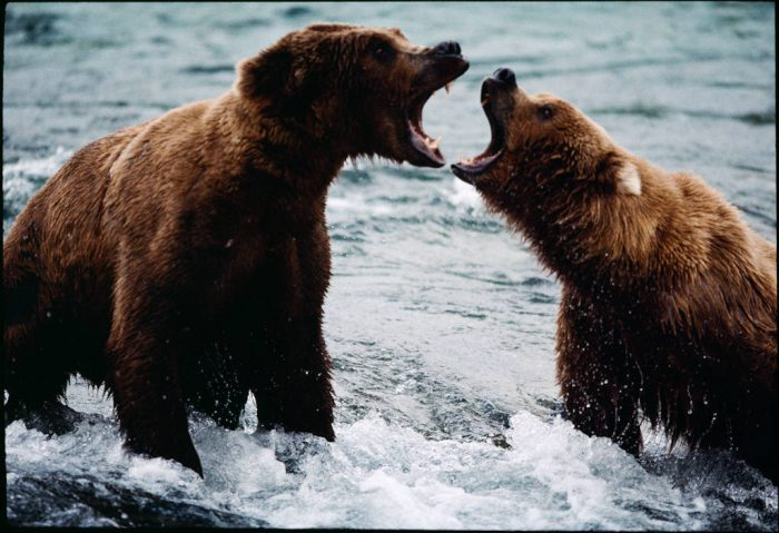 Photo: Confrontation over salmon-fishing territory between two grizzlies at Brooks Falls in Alaska's Katmai National Park.
