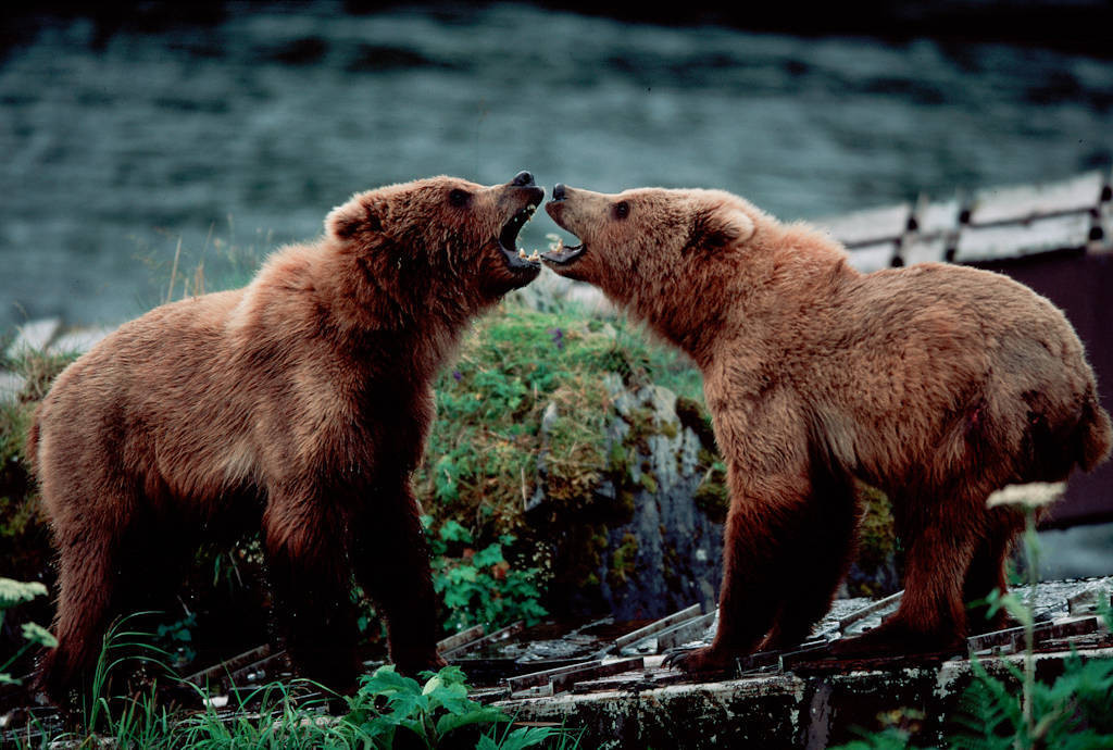 Photo: Confrontation between two grizzlies at Brooks Falls in Alaska's Katmai National Park.