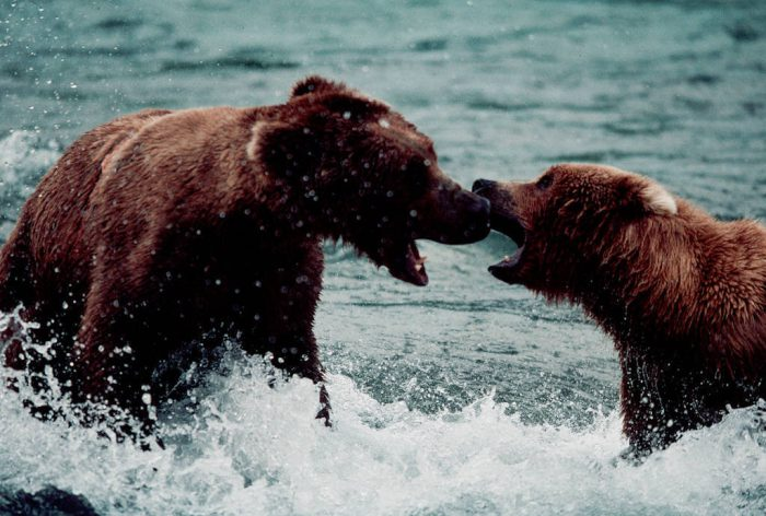 Photo: Confrontation between two grizzlies over salmon fishing territory at Brooks Falls in Alaska's Katmai National Park.