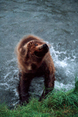 Photo: A bear shakes off as it leaves the water at Brooks Falls in Alaska's Katmai National Park and Preserve.