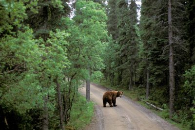 Photo: A grizzly bear crosses the road in Katmai National Park.