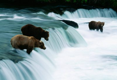 Photo: Grizzlies fish for salmon at Brooks Falls in Alaska's Katmai National Park.