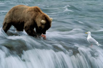 Photo: A grizzly bear feeds on salmon at Brooks Falls in Alaska's Katmai National Park.