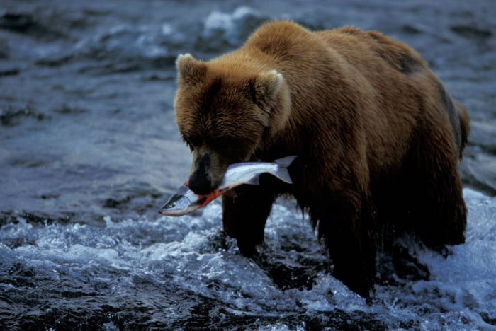 Photo: A grizzly bear catches a meal in Brooks Falls, Katmai National Park, Alaska.