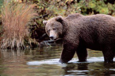 Photo: A grizzly bear in Brooks Falls, Katmai National Park, Alaska.