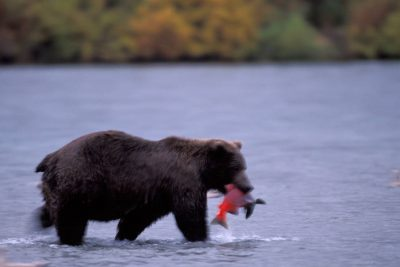 Photo: A grizzly bear eats a fish he caught in Brooks Falls.