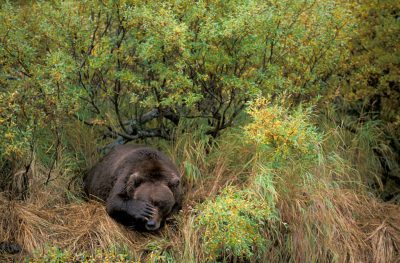 Photo: A grizzly bear takes a nap in Katmai National Park, Alaska.