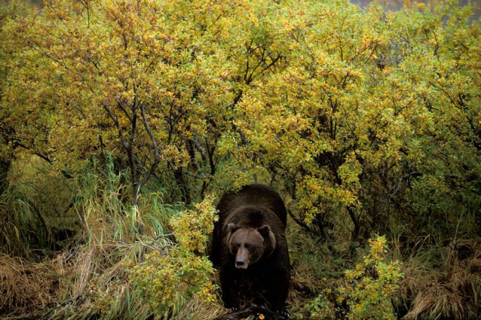 Photo: A grizzly bear in Katmai National Park, Alaska.