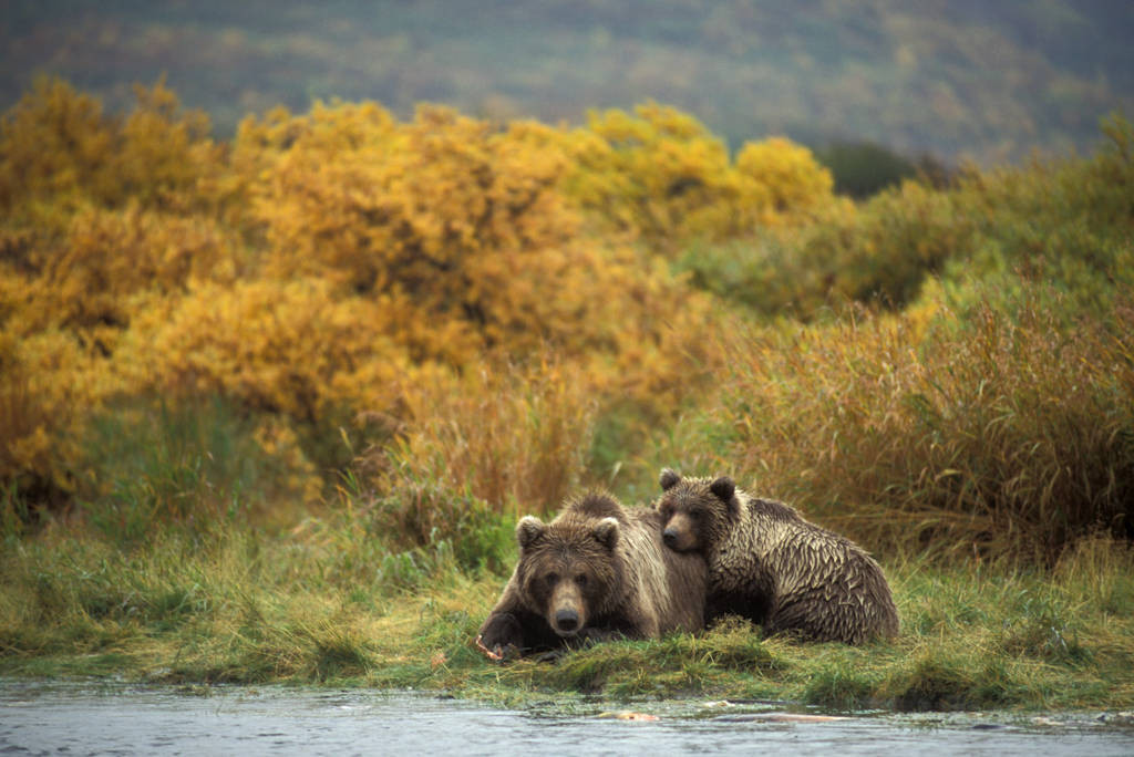 Photo: Grizzly bears in Katmai National Park, Alaska by Brooks Falls.