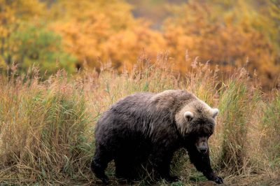 Photo: A grizzly bear in Katmai National Park, Alaska near Brooks Falls.
