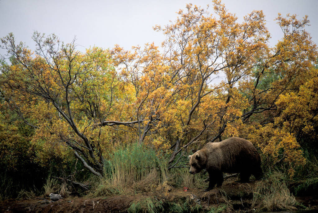 Photo: A grizzly bear in Katmai National Park, Alaska near Brooks Falls.