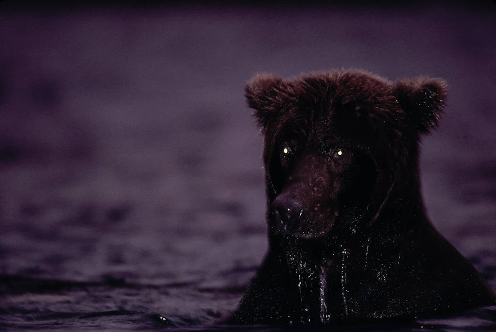 Photo: A grizzly bear at night in Brooks Falls.