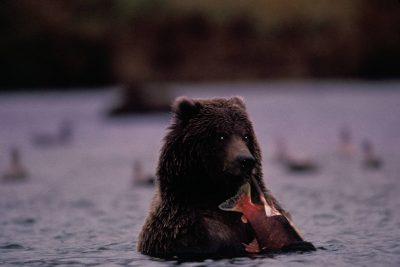 Photo: A grizzly bear finds a meal in Brooks Falls.