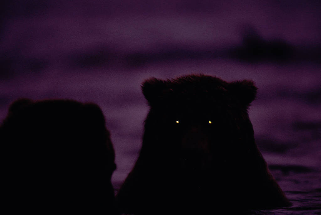Photo: Grizzly bears in Brooks Falls at night.