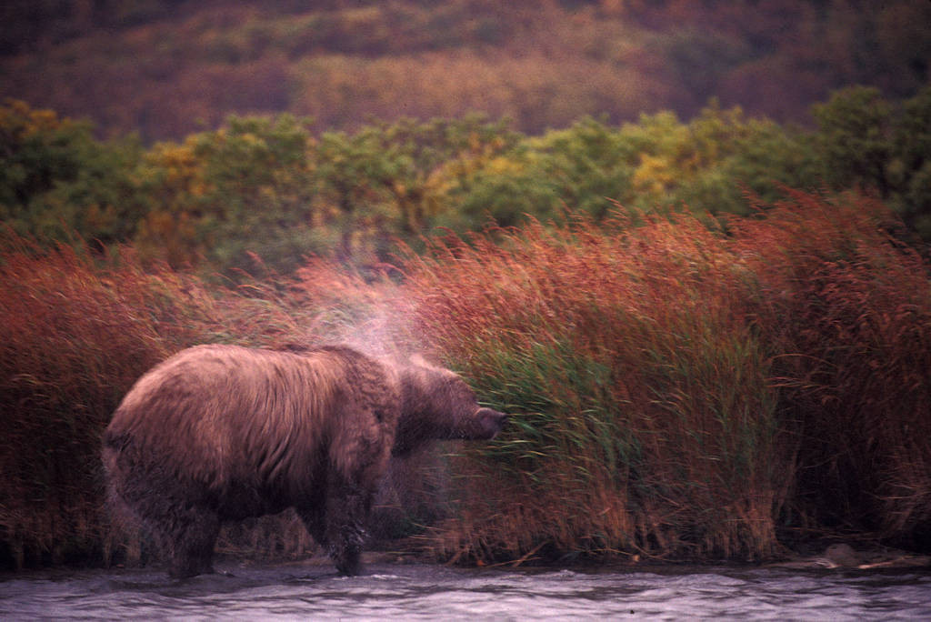 Photo: A Grizzly bear in Brooks Falls.