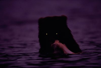 Photo: A grizzly bear fishes in Brooks Falls at night.
