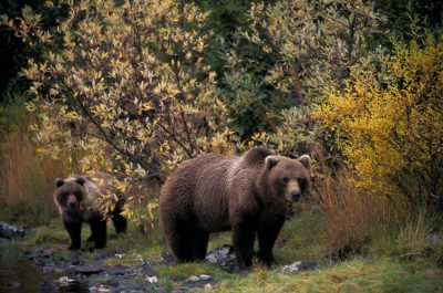 Photo: Grizzly bears near Brooks Falls in Katmai National Park, Alaska.