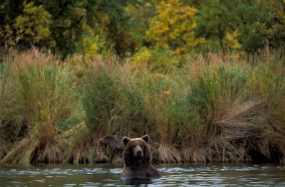Photo: A grizzly bear goes for a swim in Brooks Falls, Alaska.