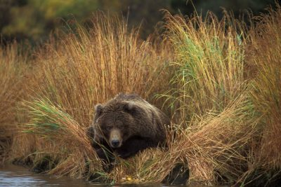 Photo: A grizzly bear rests by Brooks Falls in Alaska.