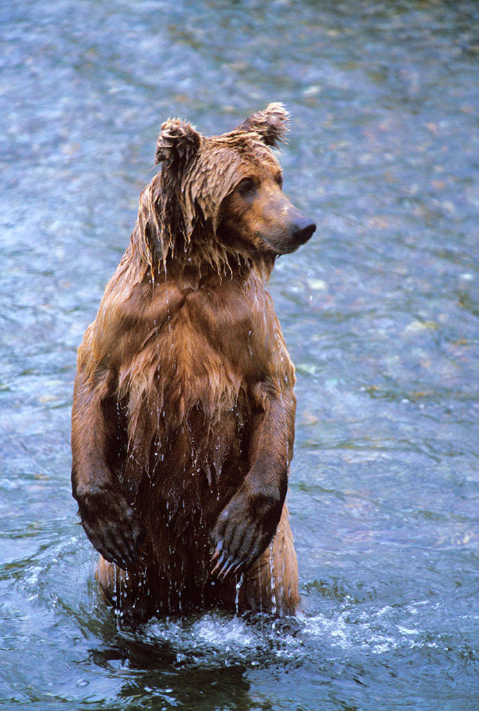 Photo: A grizzly bear fishes for salmon at Brooks Falls in Alaska's Katmai National Park.