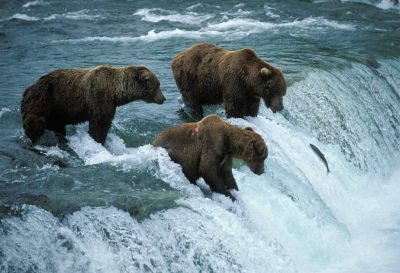Photo: Grizzly bears fish for salmon at Brooks Falls in Alaska's Katmai National Park.