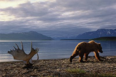 Photo: A grizzly bear walks past a set of moose antlers at Katmai's Naknek Lake.