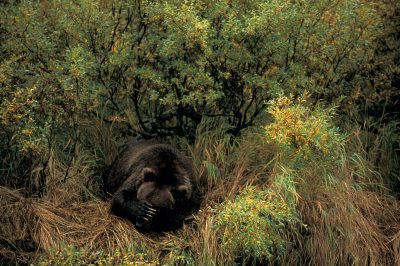 Photo: A grizzly bear dozes after fishing in Katmai, Alaska.