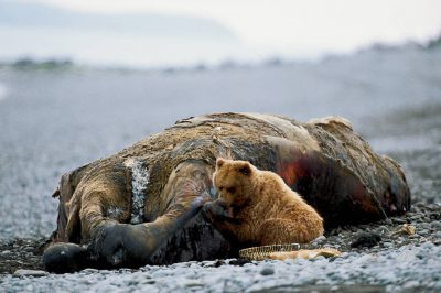 Photo: A grizzly bear feeds on a whale carcass on the shores of Katmai National Park, Alaska.