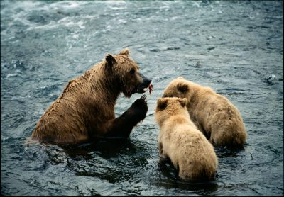 Photo: A mother grizzly bear teaches her cubs to fish in Alaska's Katmai National Park & Preserve.