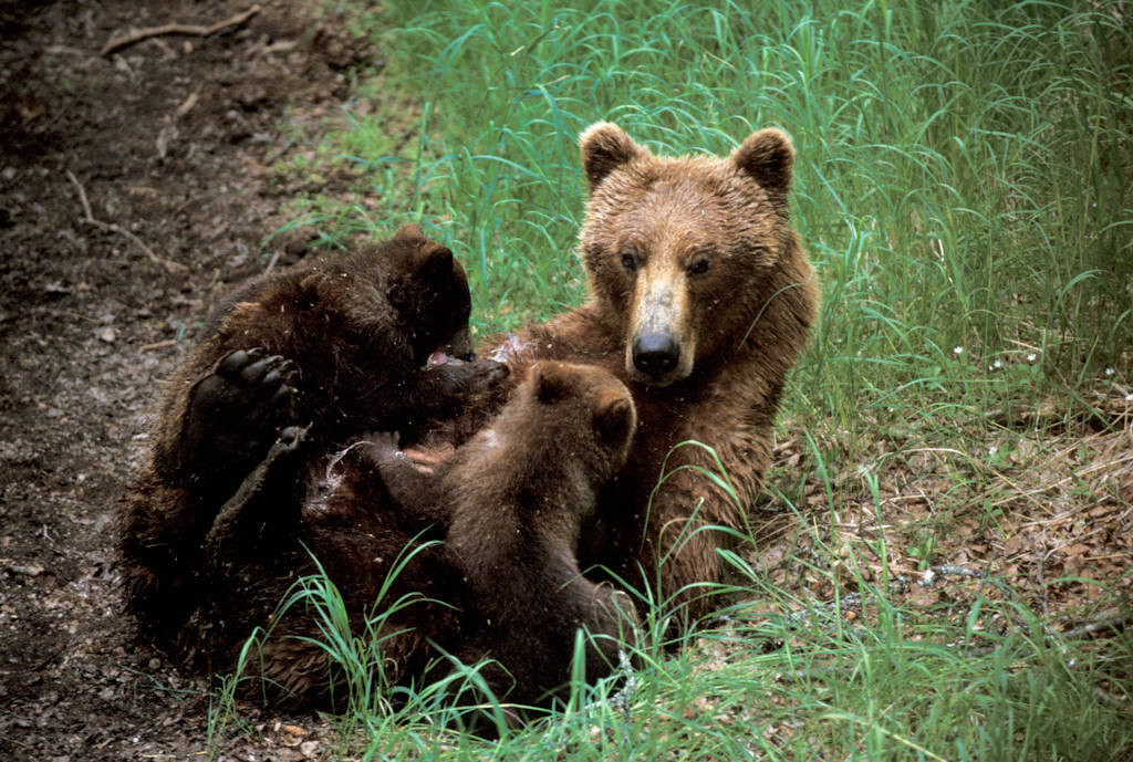 Photo: A mother grizzly bear nurses her cubs near Brooks Falls in Alaska's Katmai National Park and Preserve.