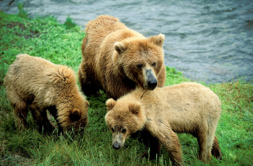 Photo: A mother grizzly bear and her young in Alaska's Katmai National Park & Preserve.