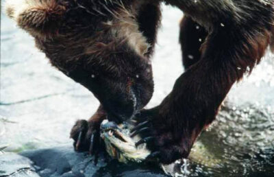 Photo: A grizzly bear tears into a fish he just caught in Katmai National Park, Alaska.