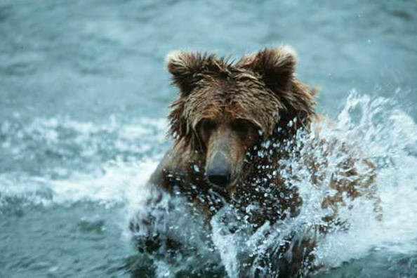 Photo: A grizzly bear fishes in Brooks Falls in Katmai National Park, Alaska.