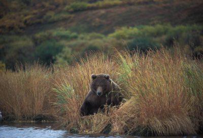Photo: A grizzly bear in Katmai National Park, Alaska.