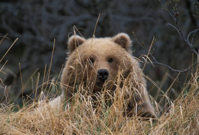 Photo: A young grizzly bear seen through dried grass in Katmai National Park, Alaska.