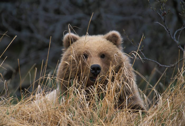 Photo: A young grizzly bear seen through dried grass in Katmai National Park, Alaska.